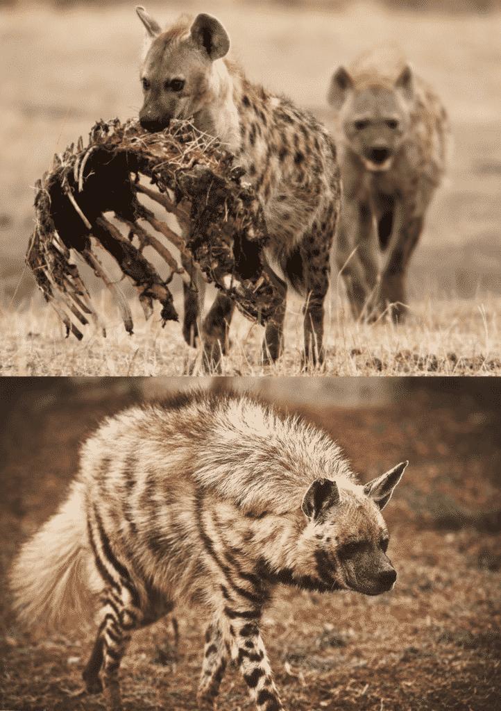 Alimentación Hienas