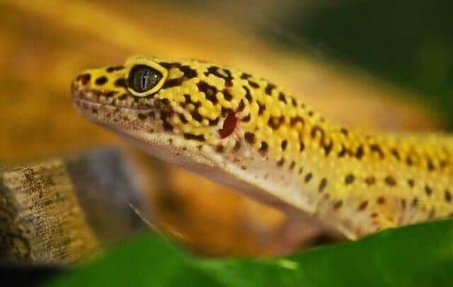 Alimentación del gecko leopardo domestico