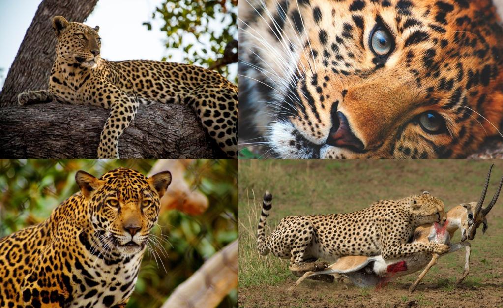 Alimentación leopardos
