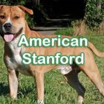 American Stanford