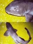 Anatomía del tiburón ciego azulado