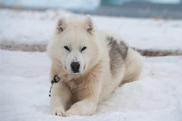 Animales del Ártico