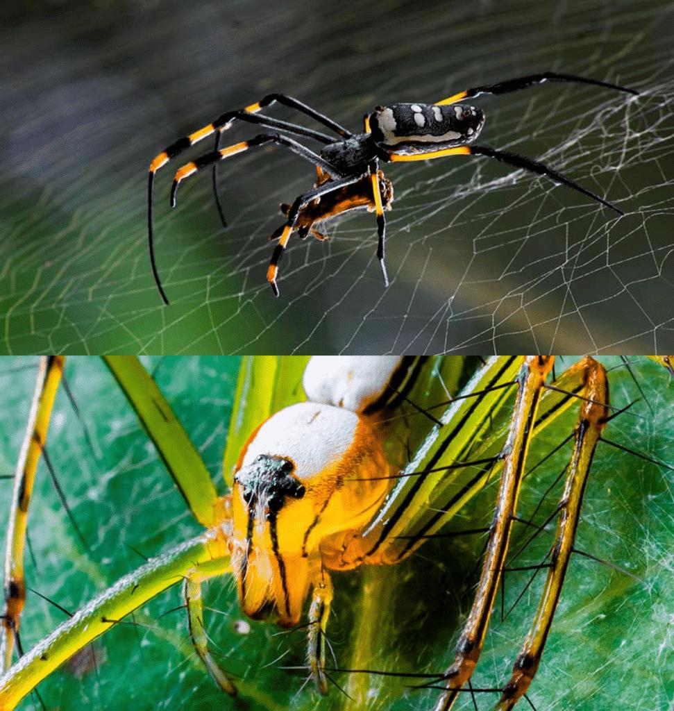 Arañas venenosas y peligrosas