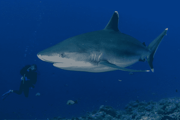 Buceador nadando con tiburón de puntas plateadas