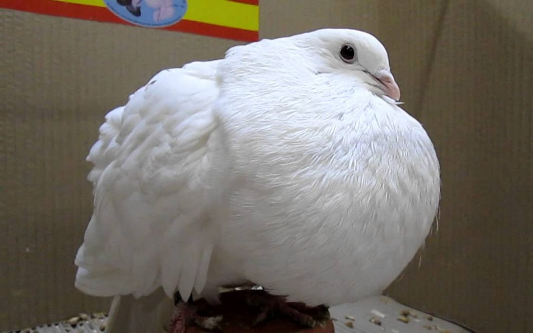 Buchón Marchenero