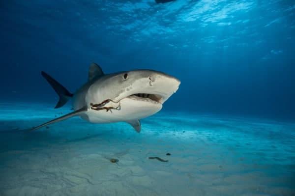 Cómo cazan los tiburones tigres