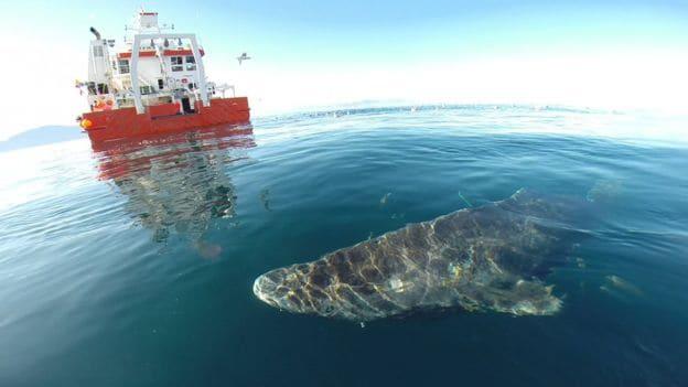 Características del tiburón Groenlandia