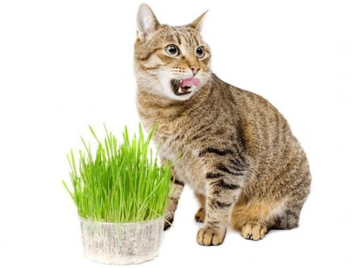 Catnip para gatos