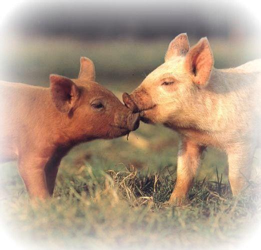 Cerdos cariñosos