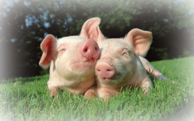 Los cerdos