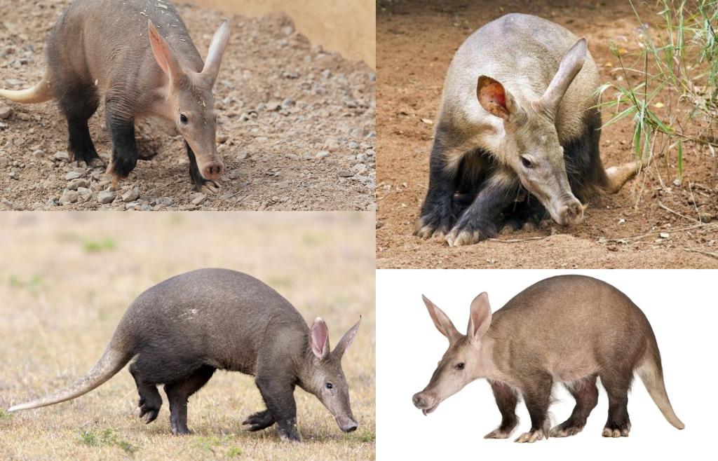 Cerdos hormigueros (Orycteropus afer) | Animalesis