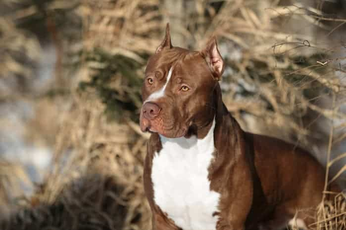 Comportamiento del American Pitbull Terrier
