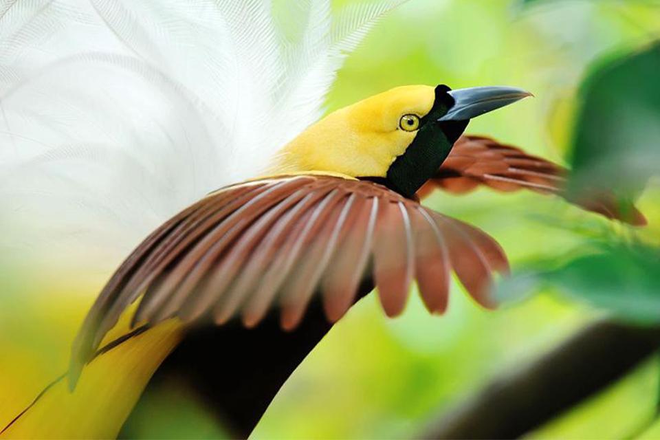 Comportamiento del ave del paraíso