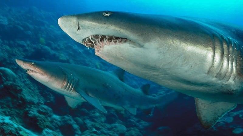 Comportamiento del tiburón tigre