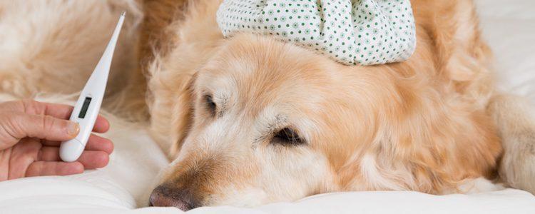 Controla fiebre de tu perro