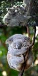 Crías Koalas
