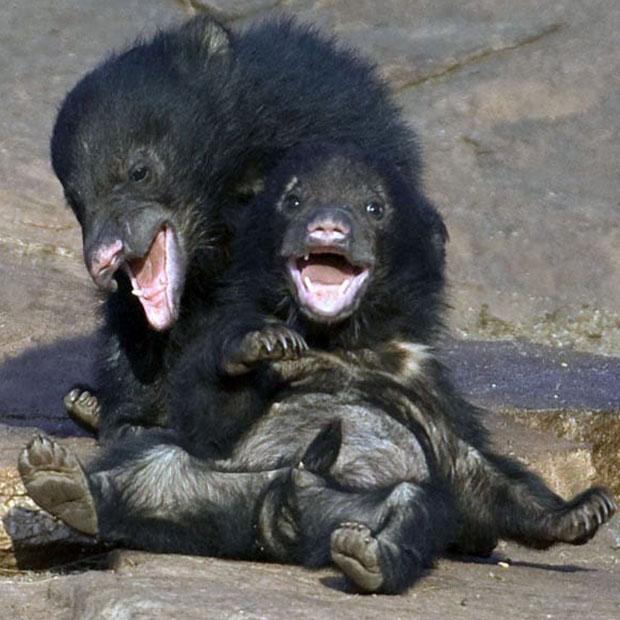 Crías osos tibetanos