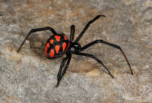 Cuáles características presentan las arañas