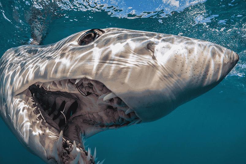 ¿Cuánto vive el tiburón Mako?