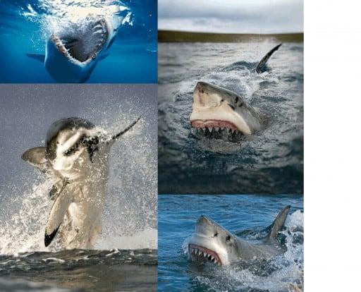 Dientes tiburón blanco cazando