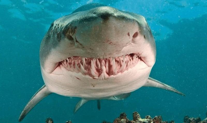 Dientes tiburón toro