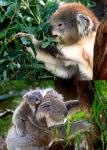 Dieta Alimentación Koalas