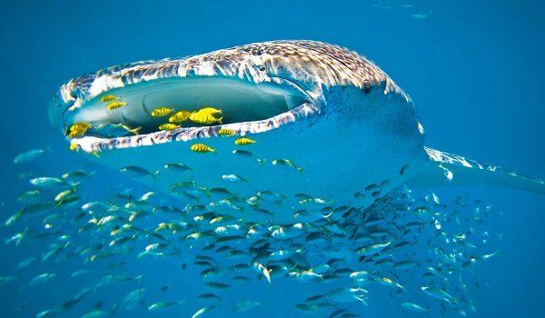 Dieta tiburón ballena