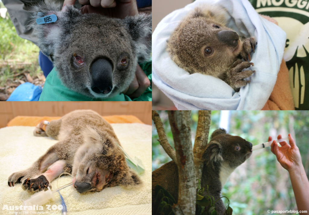 Enfermedades Koalas