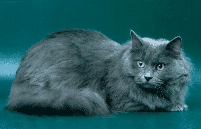 Gato de color azul
