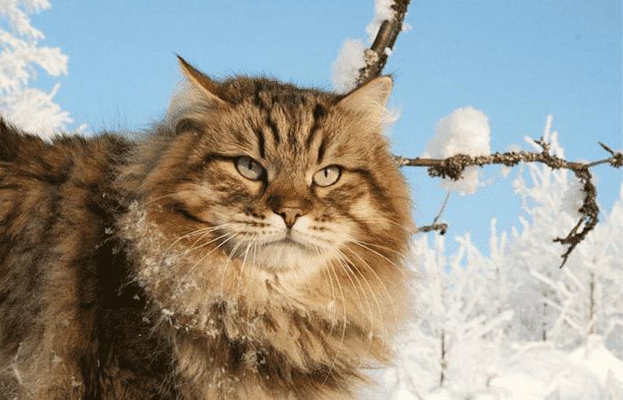 Gato del bosque