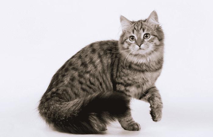 Gato manchado negro