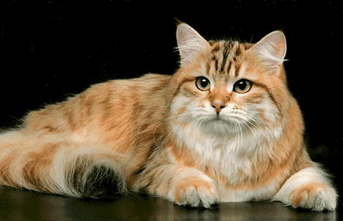Gatos color dorado