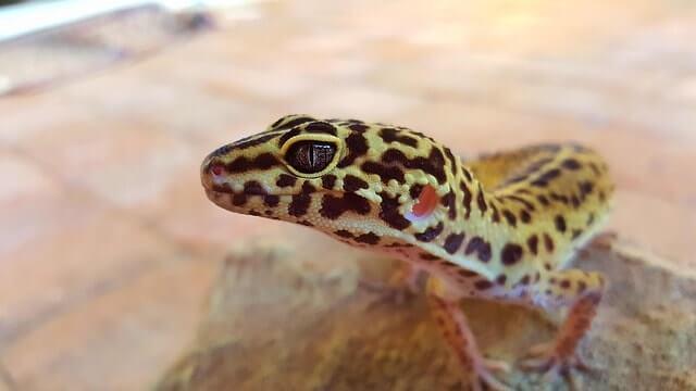 Gecko leopardo como mascota