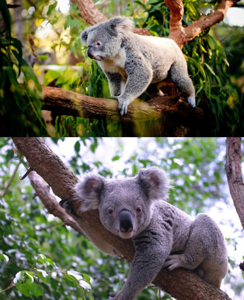 Hábitat Koalas