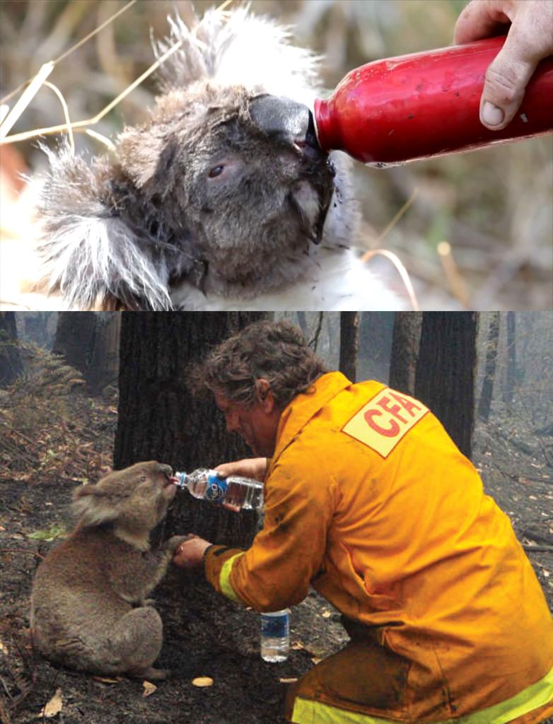 Incendios forestales Koalas