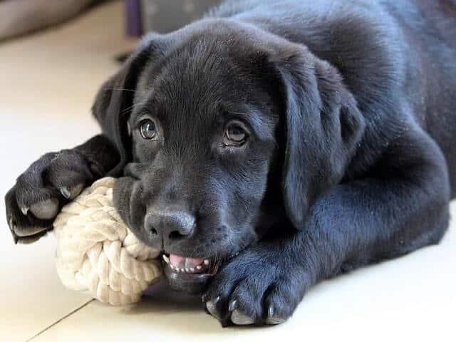 Juego con cuerdas en perros