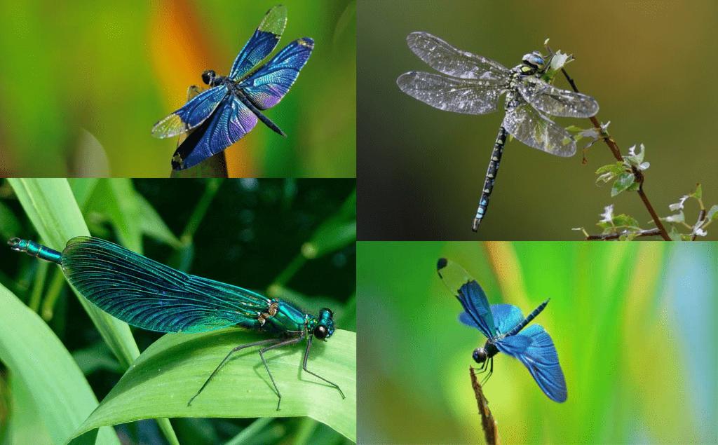 Las libélulas pican