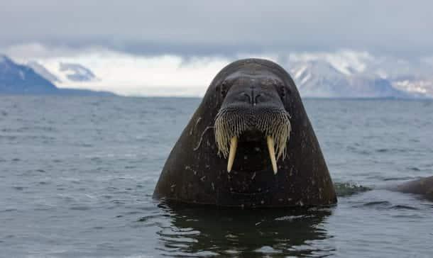 Morsa en Ártico