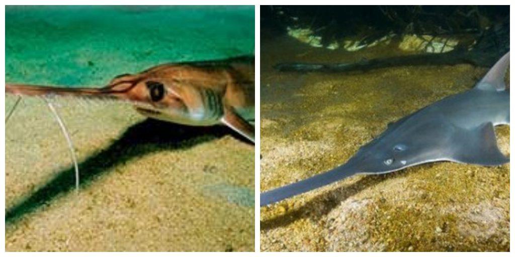 Nutrición del Tiburón Sierra de las Bahamas