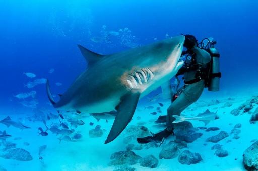 Peligroso tiburón toro