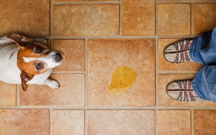 Vomito amarillo en perros (bilis)