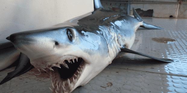 Pesca del tiburón bonito
