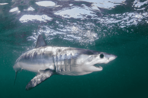 Peso del tiburón Marrajo