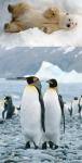 Por qué no hay pingüinos en el polo norte ni osos en el polo sur?