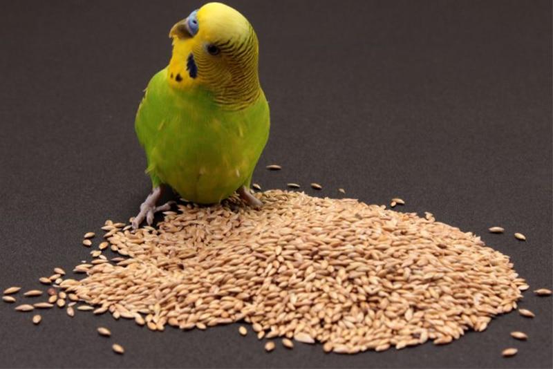 ¿Qué comen los periquitos?