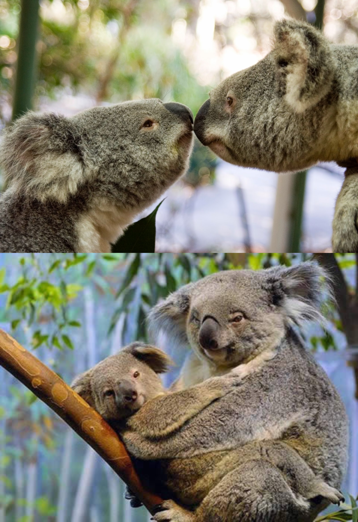 Reproducción Koalas