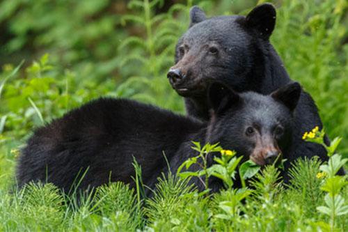 Reproducción del oso tibetano