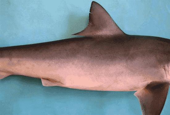 Reproducción del tiburón lechoso