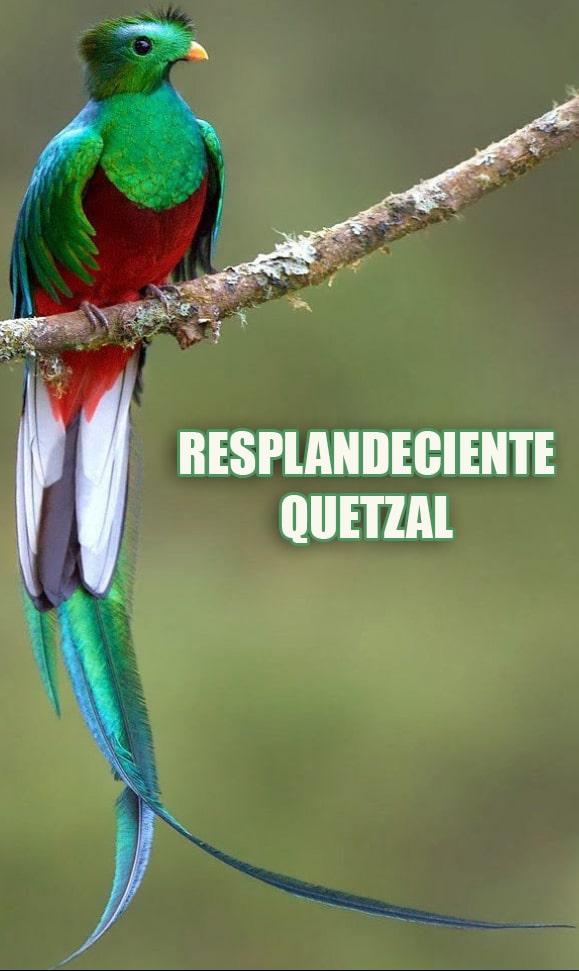 Resplandeciente ave Quetzal