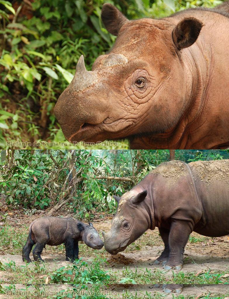 Rinoceronte de Sumatra (Dicerorhinus Sumatrensis)